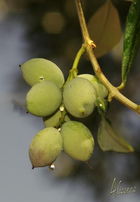 Alisseos Olivenöl